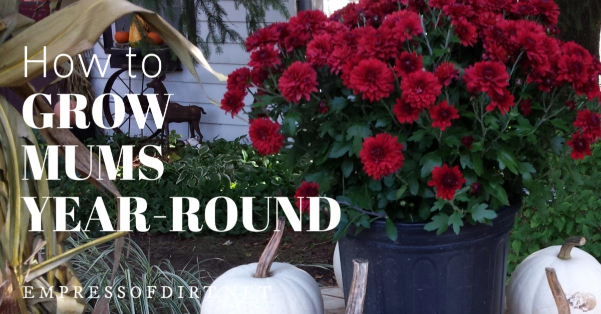 How To Plant Hardy Mums Outdoors As Year Round Perennials