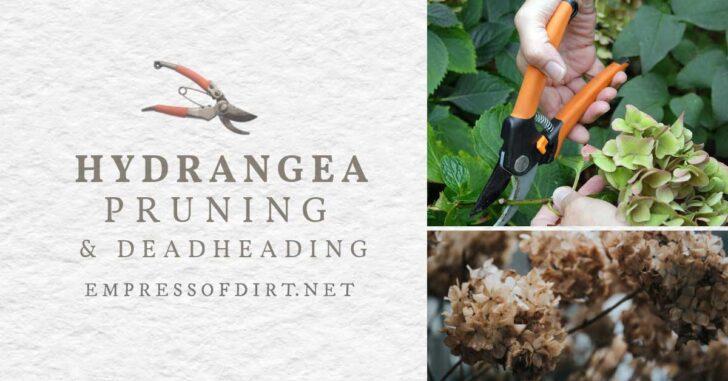 Pruning and deadheading hydrangea shrubs.