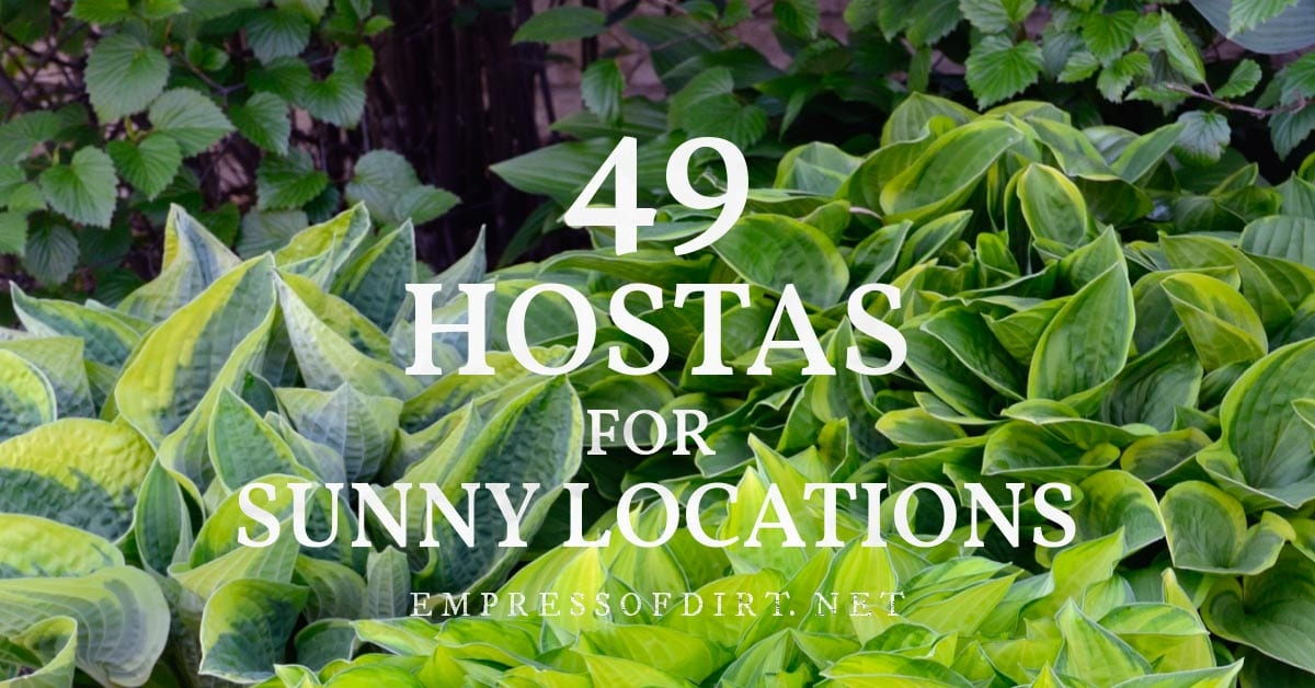 Hostas that can grow in sunny locations.