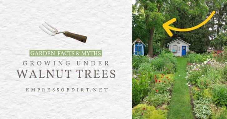 Large walnut tree growing over backyard garden.