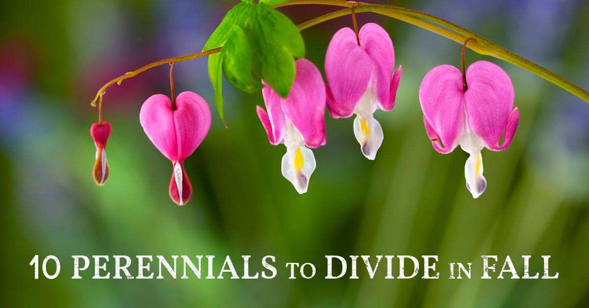 Bleeding hearts are a plant you can divide and transplant in fall.