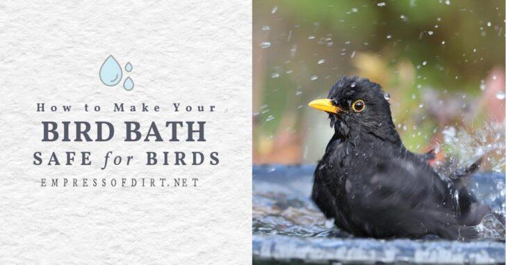 Blackbird bathing in backyard bird bath.