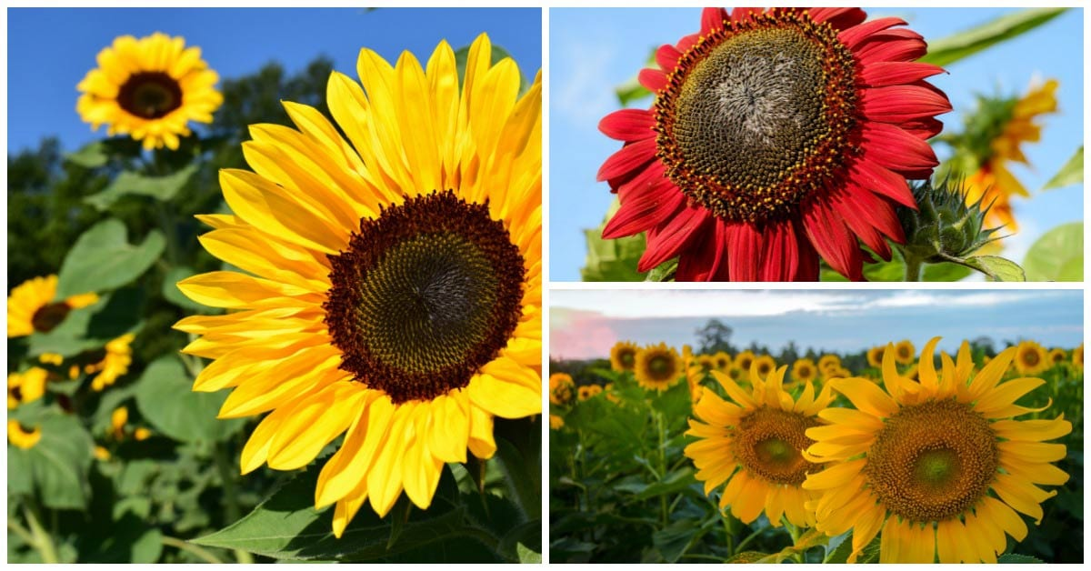 When To Plant Sunflowers And What To Avoid Empress Of Dirt