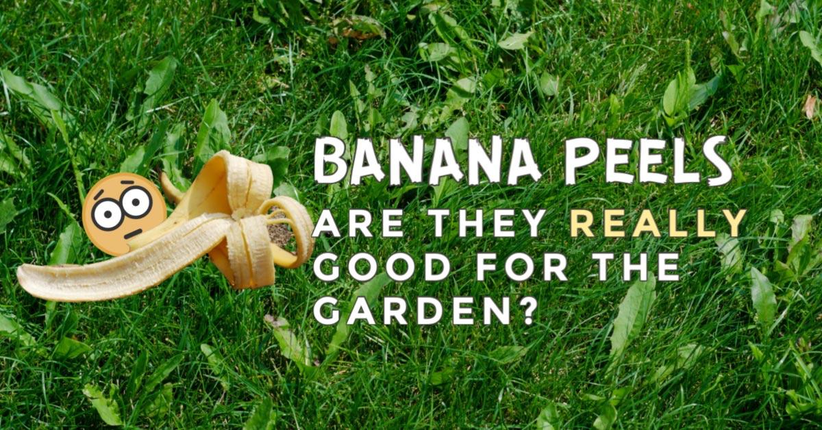 Banana peel in garden.