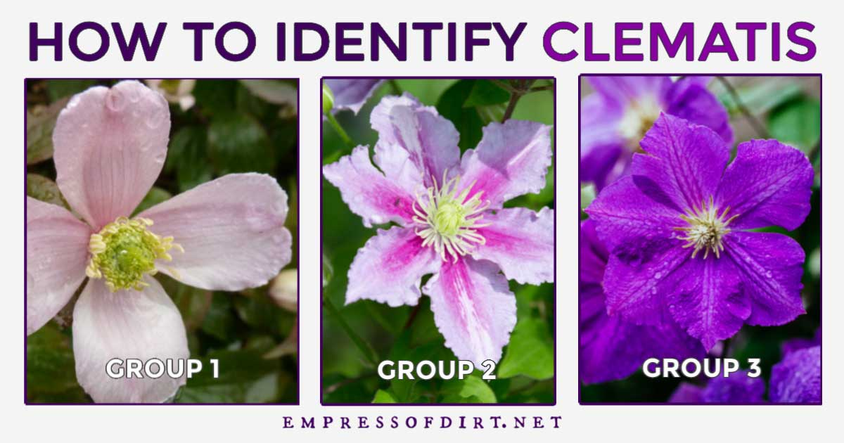 Three types of clematis flowers.