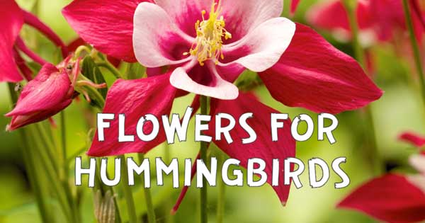 Red columbine flower to attract hummingbirds.