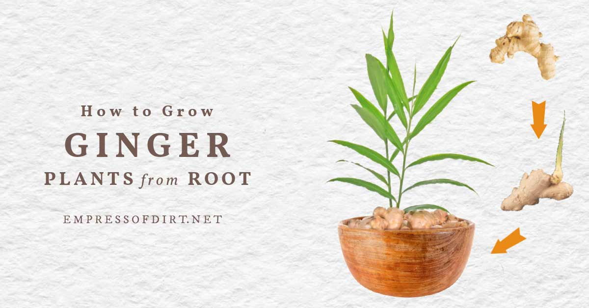 Sprouted Fresh Ginger 8 OZ Fastest Easiest Way To Grow Your Own Ginger