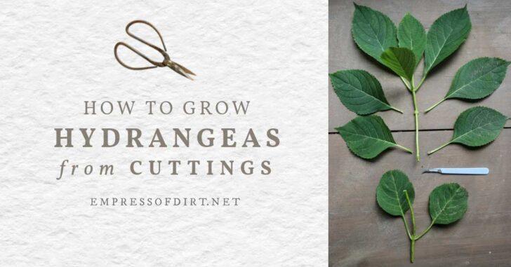 Propagating hydrangea using a stem cutting.