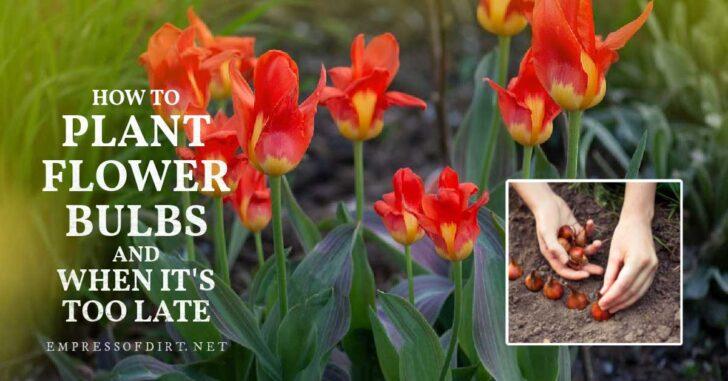 Planting tulip bulbs in the fall garden.