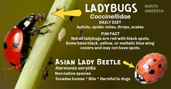 Diagram showing difference between ladybug and Asian lady beetle.