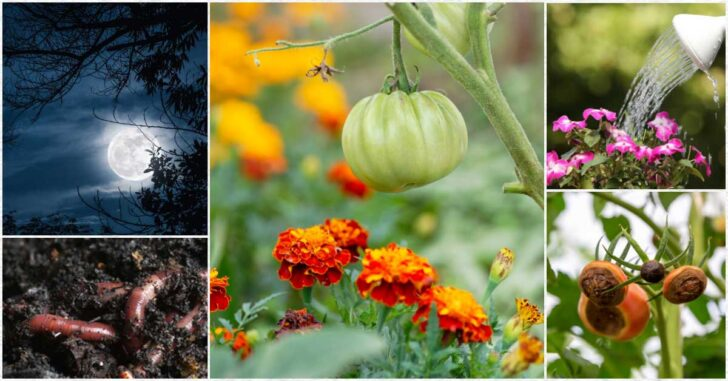 Examples of misleading garden tips including remedies for blossom end rot on tomatoes.
