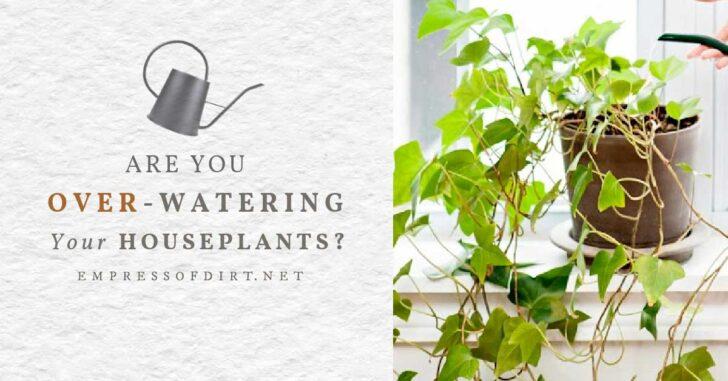 Watering a houseplants by a window.
