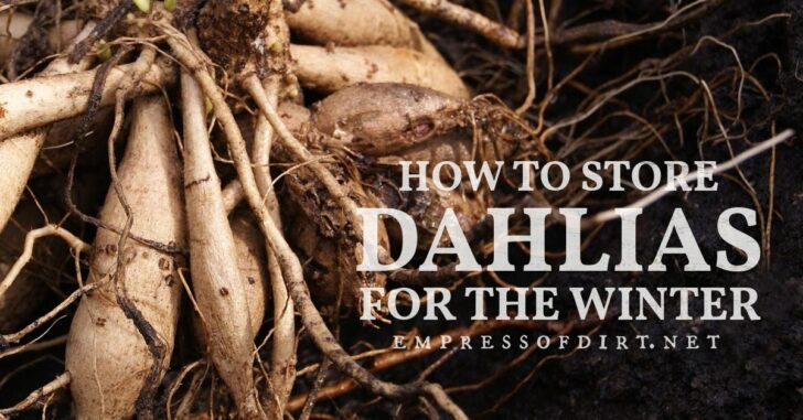 Dahlia tubers ready for overwintering.