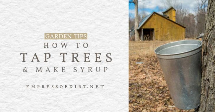 Pail and spig to tap tree for collecting sap.