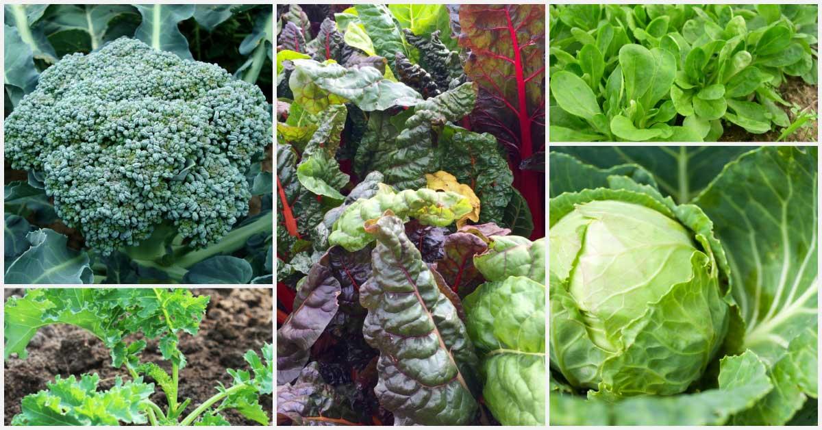 Legumes para semear no meio do verão, incluindo rabanete, couve-flor, brócolis, couve, alface e rabanete.