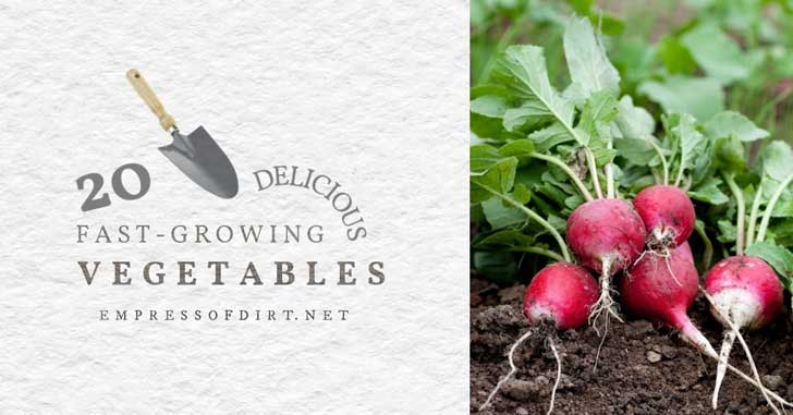 Radishes in the garden: an example of fast-growing vegetables.