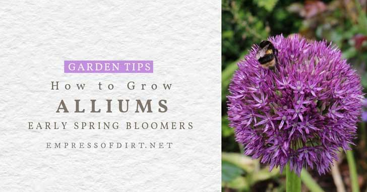 Purple allium flower with bee.