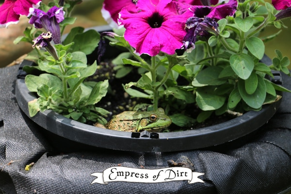 Frog riding in a floating garden pond planter.