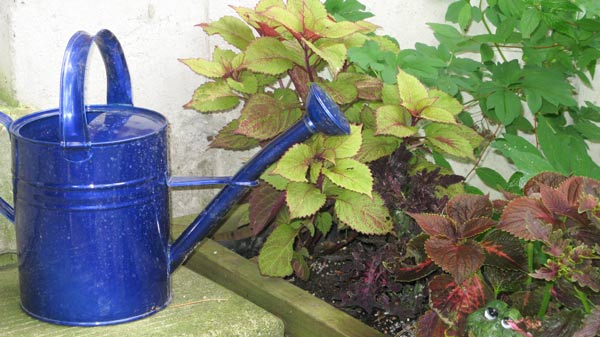 Blue watering can in garden.