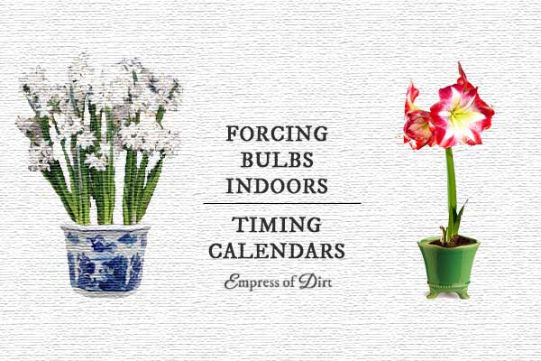 When to force bulbs indoors for flowers when you want them