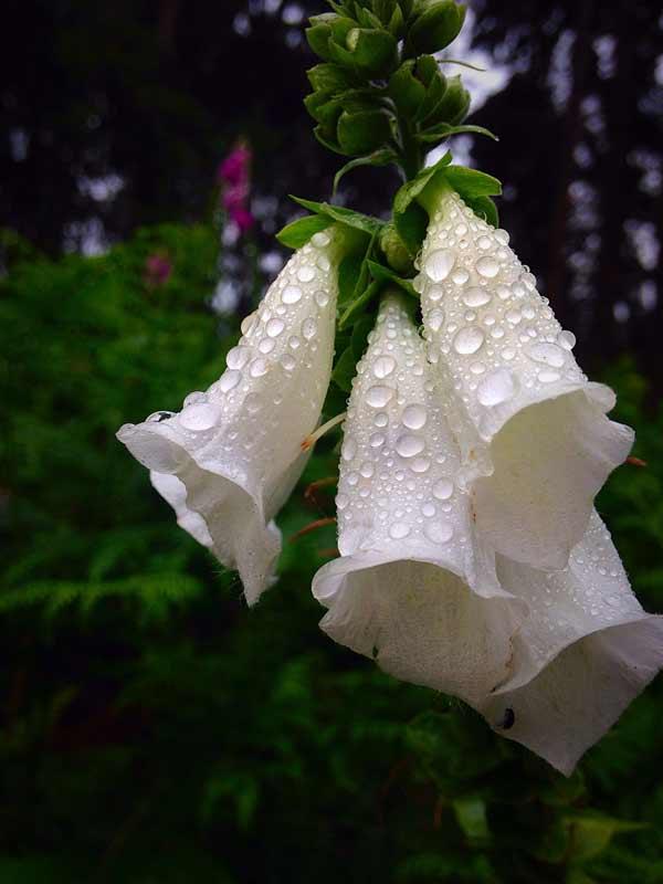 White foxglove flowers.