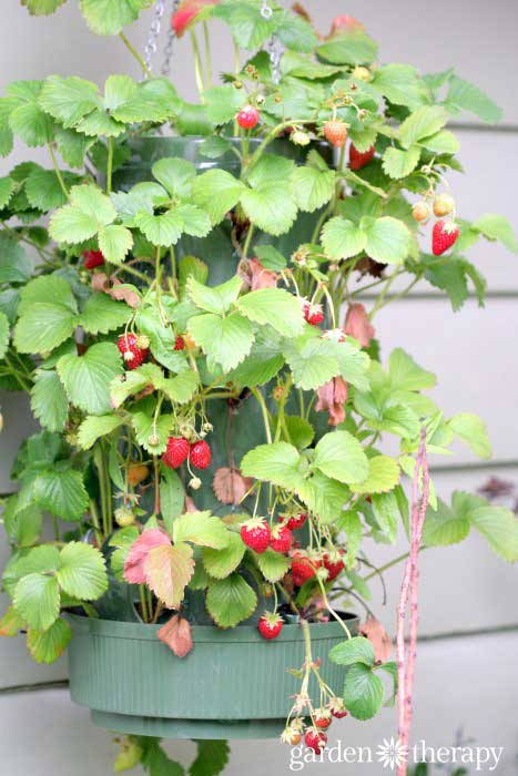 Hanging strawberry planter with berries.