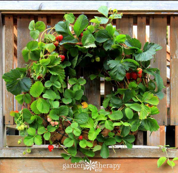 Strawberries growing in a wreath.
