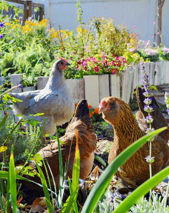 Gardening With Chickens by Lisa Steele