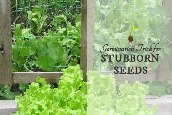 Germination Trick for Stubborn Seeds