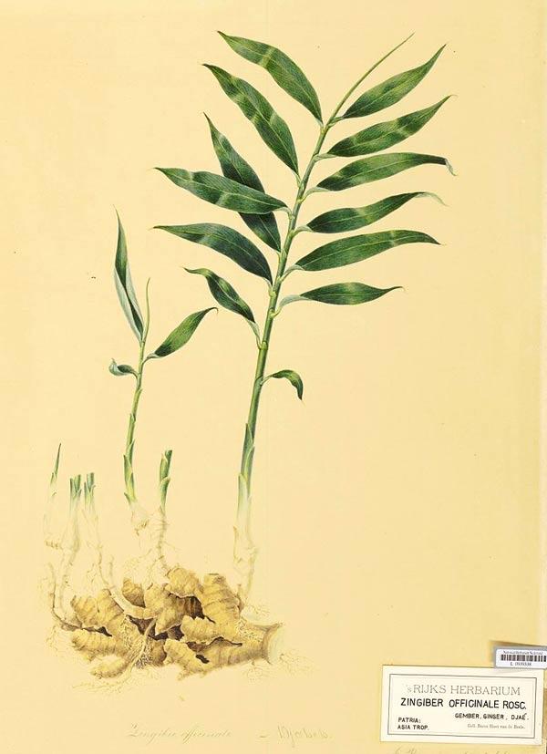 Vintage illustration of ginger roots with shoots and leaves.