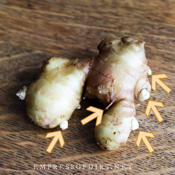 Ginger rhizome with arrows pointing to parts where shoots are starting to grow.