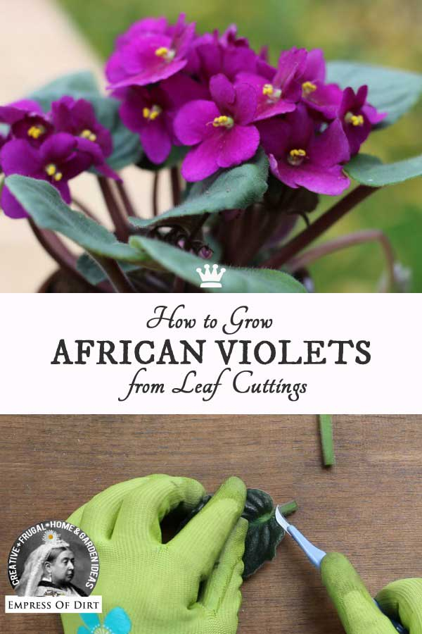 How to Grow African Violets from Leaf Cuttings