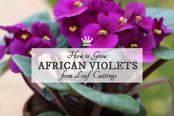 How to grow African violets from leaf cuttings. An easy, step-by-step tutorial for the home gardener.