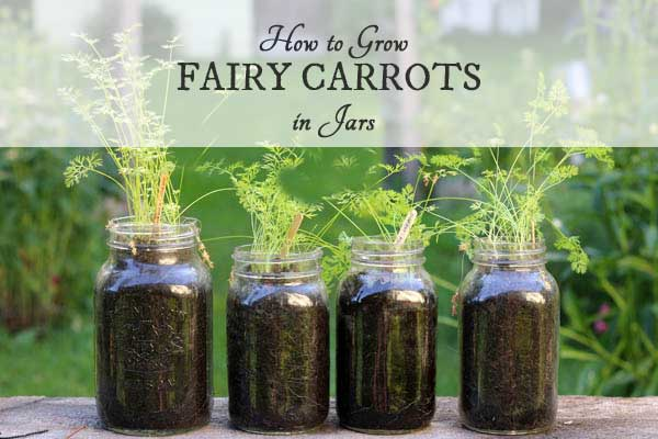How To Grow Fairy Carrots In Jars