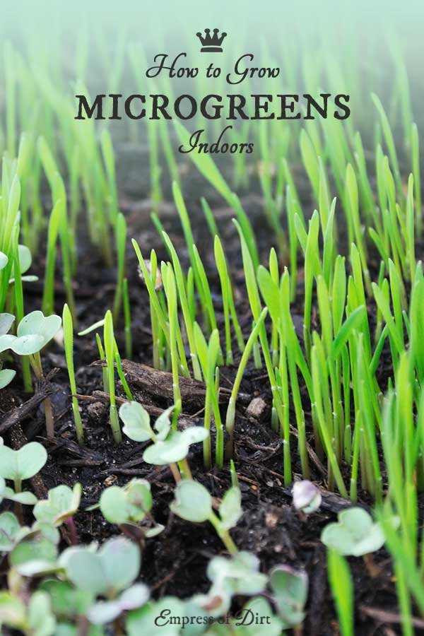 How to grow delicious microgreens indoors in your home