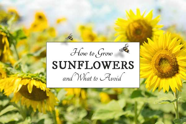 How to grow sunflowers - best location and planting companions.