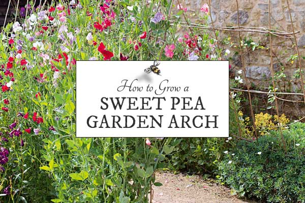How to grow a sweet pea garden arch