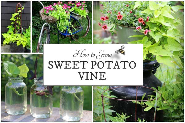 How to Grow Sweet Potato Vine + Creative Display Ideas