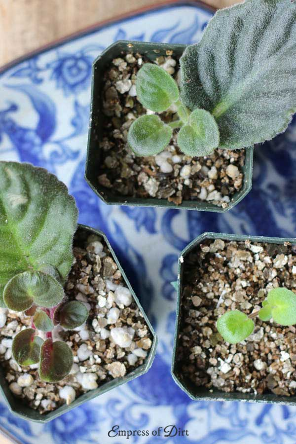 How to grow African violets from cuttings