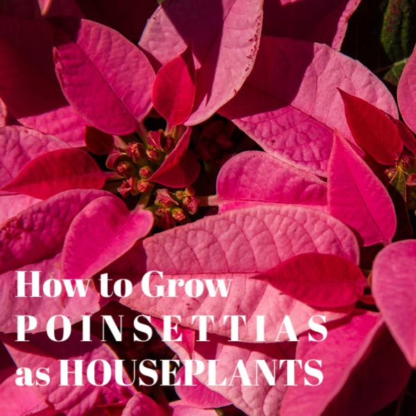 How to grow poinsettias year-round as houseplants.