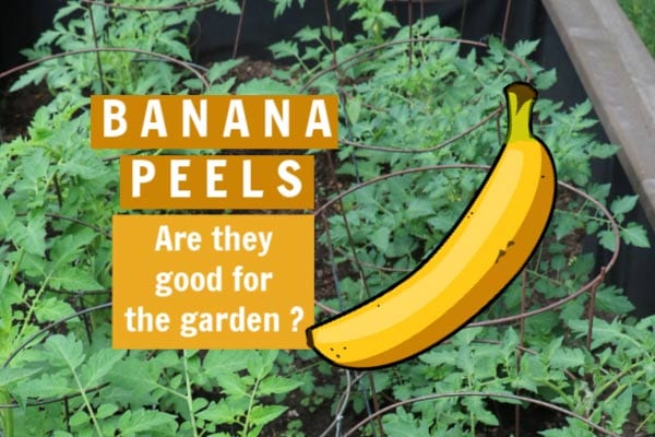 Are banana peels good for the garden? Let's fact-check this popular garden advice.
