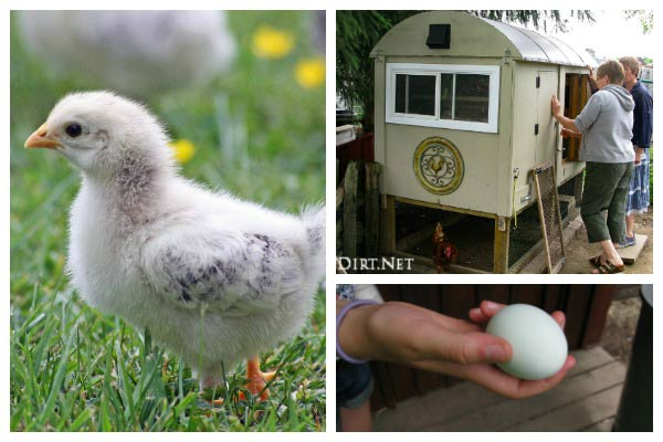 How the breed of a chicken determines what the egg color will be.