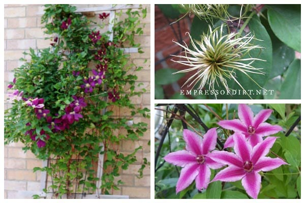The complete guide to clematis care.