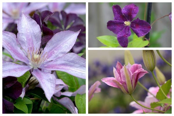 How to Propagate & Grow Clematis