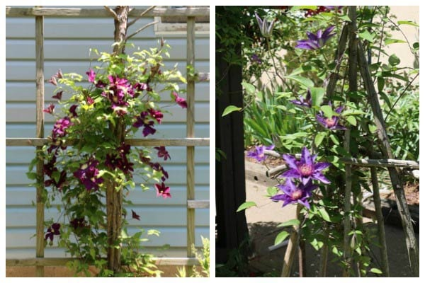 Choose a strong trellis for your clematis and be sure the tiny tendrils have something to grab onto.