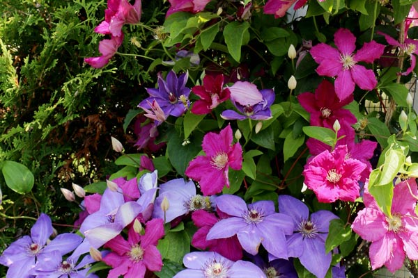 Pink and purple clematis growing on a cedar tree.