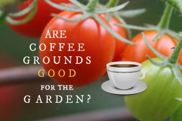 Are Coffee Grounds Good for the Garden?