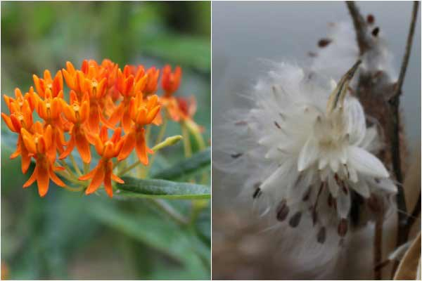 milkweed plants during flowering and seed production seasons