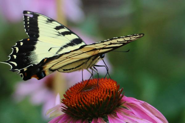 Turn Your Garden into a Butterfly Haven