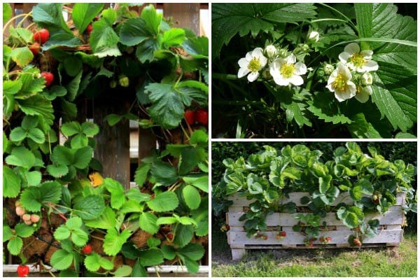Creative containers for growing strawberries